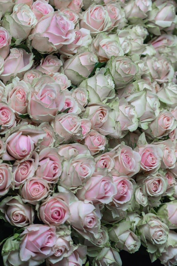Schönes Rosa des selektiven Fokus und grüne Rosen blühen Hintergrund lizenzfreie stockfotos