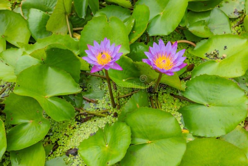 Schönes rosa Lotus, Wasserpflanze mit Reflexion in einem Teich Grüner Hintergrund stockbilder