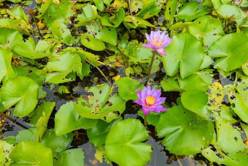 Schönes rosa Lotus, Wasserpflanze mit Reflexion in einem Teich Grüner Hintergrund stockfoto