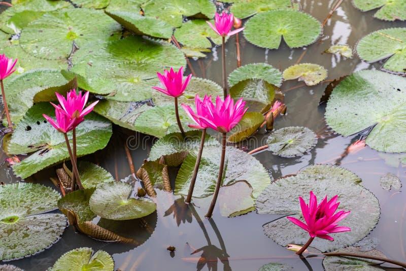 Schönes rosa Lotus, Wasserpflanze mit Reflexion in einem Teich Grüner Hintergrund stockfotografie