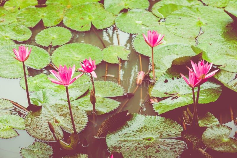 Schönes rosa Lotus, Wasserpflanze mit Reflexion in einem Teich Grüner Hintergrund stockfotos