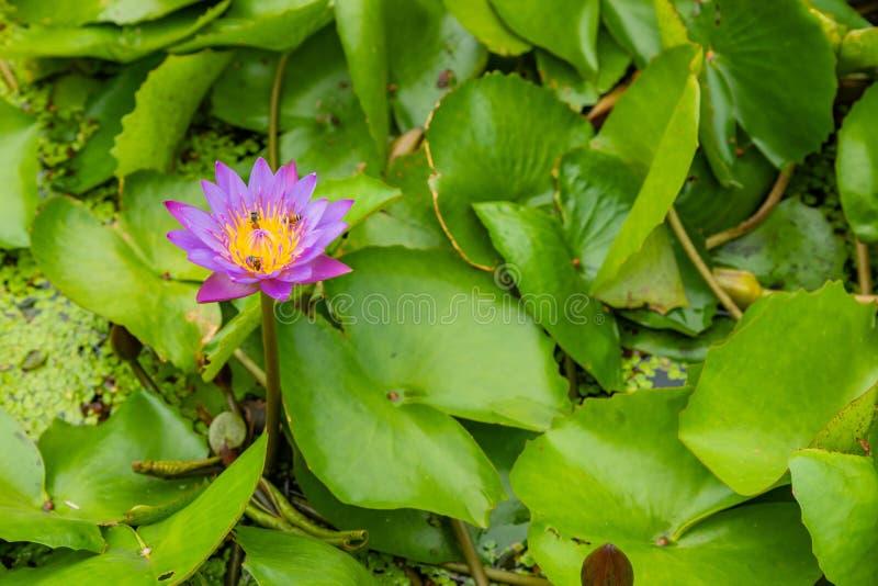 Schönes rosa Lotus, Wasserpflanze mit Reflexion in einem Teich Grüner Hintergrund lizenzfreie stockfotografie