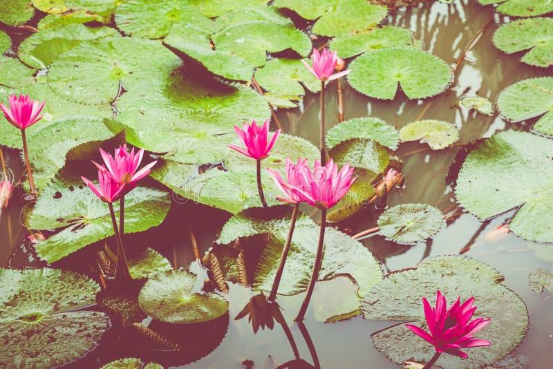 Schönes rosa Lotus, Wasserpflanze mit Reflexion in einem Teich Grüner Hintergrund lizenzfreies stockbild