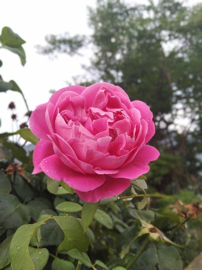Schönes Rosa stieg Blume mit Blättern stockbild