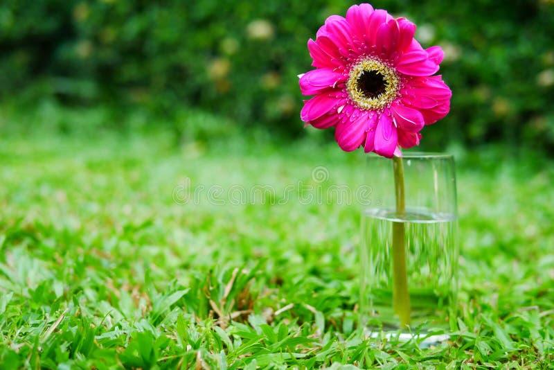Schönes Rosa und frische Zinniablume die Platz im Hausgarten morgens stockbild