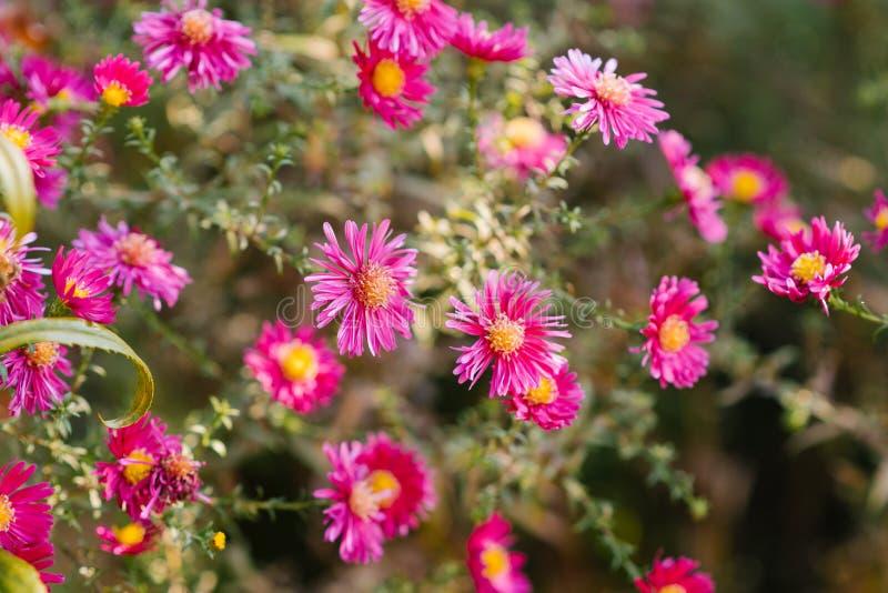 Schönes Rosa und hochrote Chrysanthemen blühen im Herbst lizenzfreies stockfoto