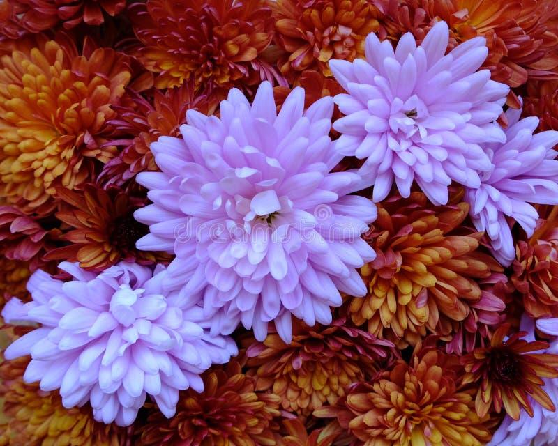 Schönes Rosa und rote Chrysanthemenblumen in voller Blüte, blumige Beschaffenheit für Hintergrund Einfach zu bearbeiten und zu ?n lizenzfreies stockfoto