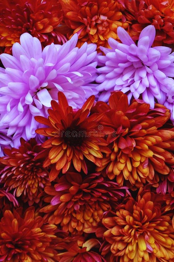 Schönes Rosa und rote Chrysanthemenblumen in voller Blüte, blumige Beschaffenheit für Hintergrund Einfach zu bearbeiten und zu ?n stockbilder