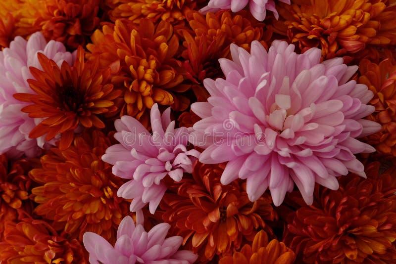Schönes Rosa und rote Chrysanthemenblumen in voller Blüte, blumige Beschaffenheit für Hintergrund Einfach zu bearbeiten und zu ?n lizenzfreie stockbilder
