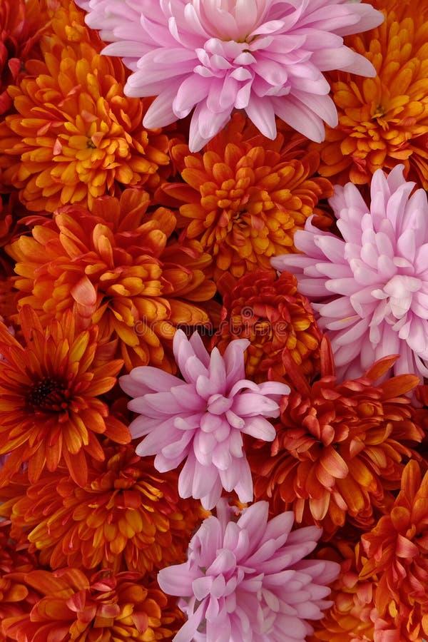 Schönes Rosa und rote Chrysanthemenblumen in voller Blüte, blumige Beschaffenheit für Hintergrund Einfach zu bearbeiten und zu ?n lizenzfreie stockfotos
