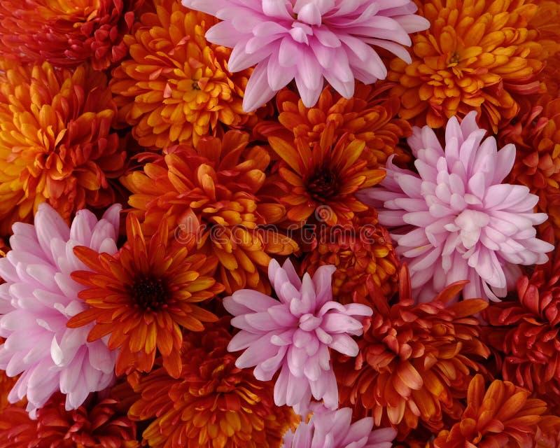 Schönes Rosa und rote Chrysanthemenblumen in voller Blüte, blumige Beschaffenheit für Hintergrund Einfach zu bearbeiten und zu ?n lizenzfreies stockbild