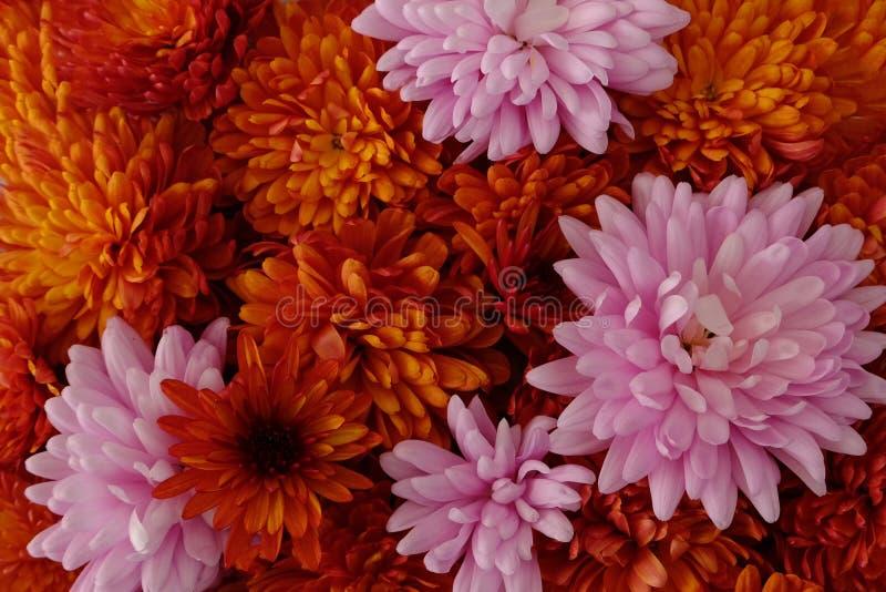 Schönes Rosa und rote Chrysanthemenblumen in voller Blüte, blumige Beschaffenheit für Hintergrund Einfach zu bearbeiten und zu ?n stockfotografie