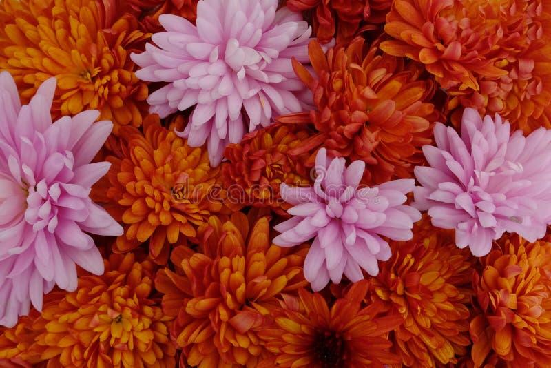 Schönes Rosa und rote Chrysanthemenblumen in voller Blüte, blumige Beschaffenheit für Hintergrund Einfach zu bearbeiten und zu ?n stockbild