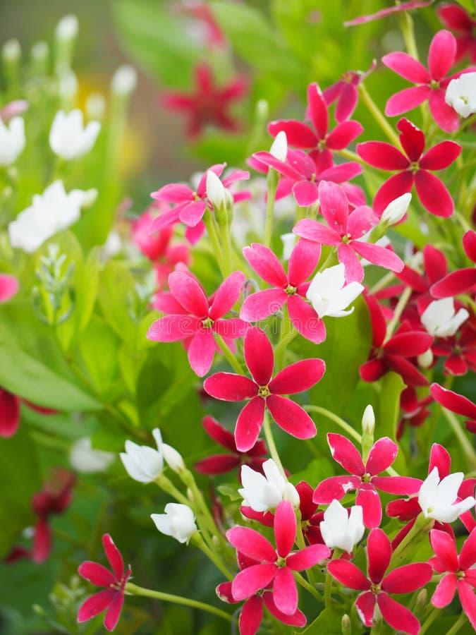 Schönes Rosa von Rangun-Kriechpflanzenblumen lizenzfreies stockfoto