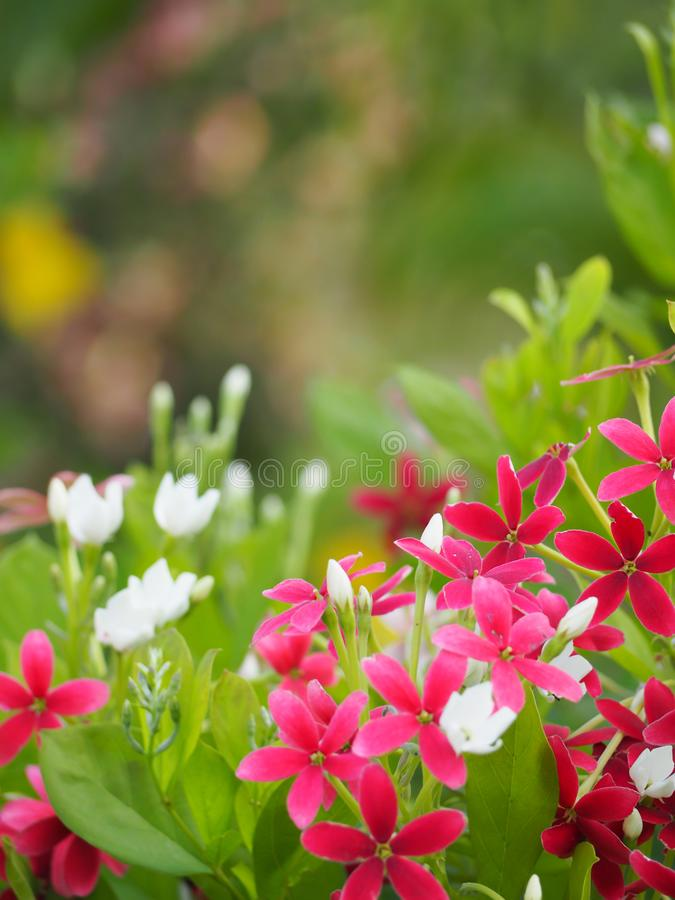 Schönes Rosa von Rangun-Kriechpflanzenblumen lizenzfreie stockfotos