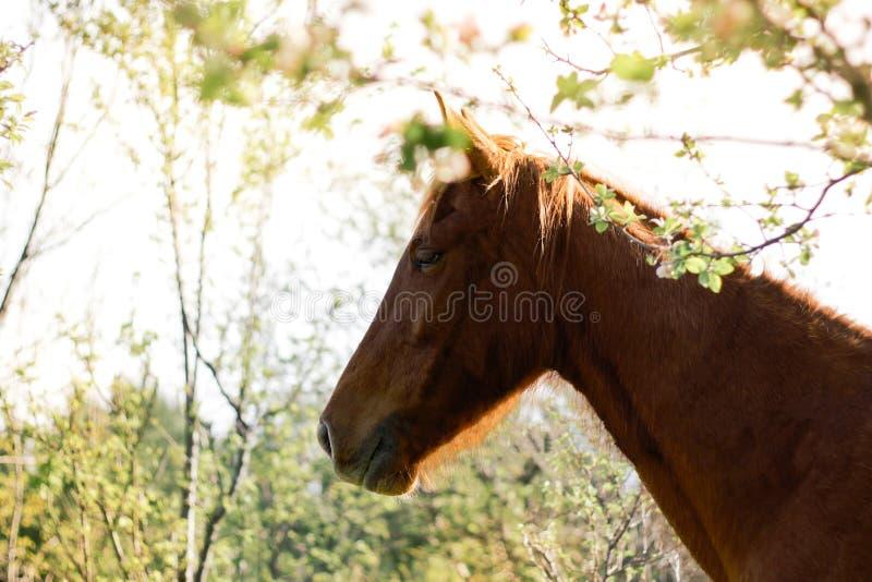 Schönes rotbraunes Pferd draußen im Frühjahr lizenzfreies stockfoto
