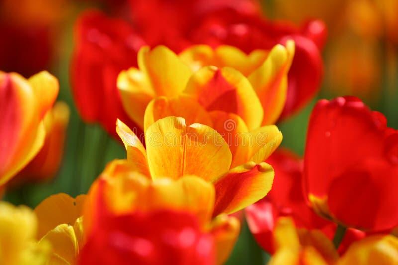 Schönes rote und gelbe gefärbt Tulpen auf einem Feld stockbilder