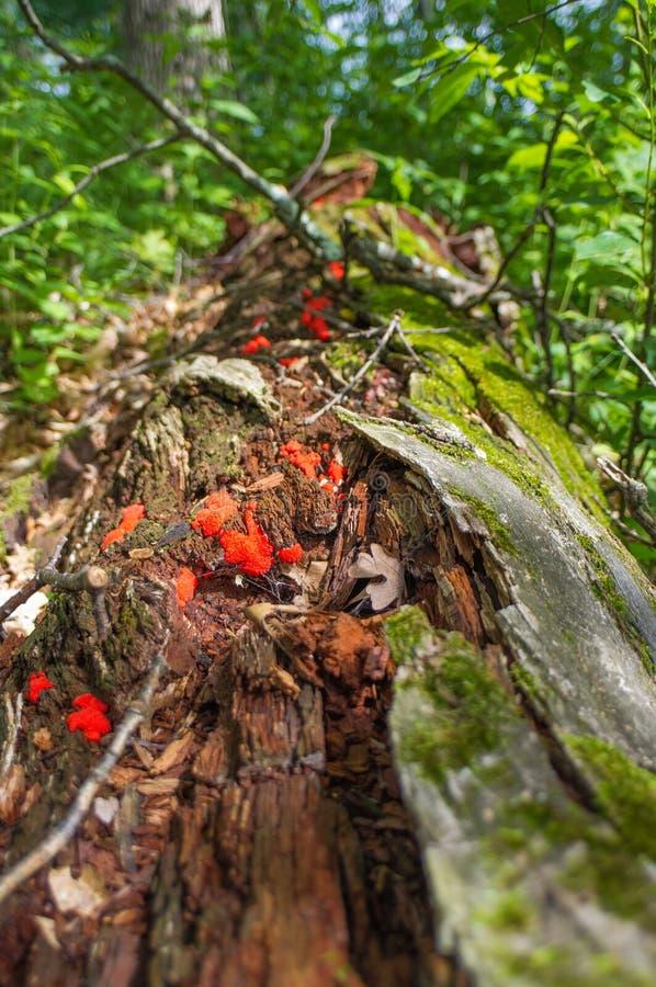 Schönes rotes fugus und Pilze, die weg von gefallenem Zerlegungsbaum nahe dem Bereich der Crex-Wiesen-wild lebenden Tiere in Nord lizenzfreies stockfoto
