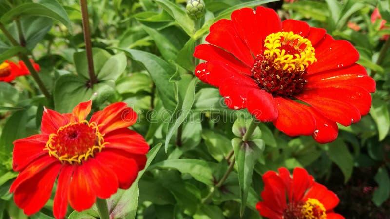 Schönes rotes krisan flowerswith grüner Blatthintergrund stockbilder