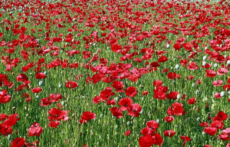 Schönes rotes Mohnblumenblumenfeld im Sommer stockbilder