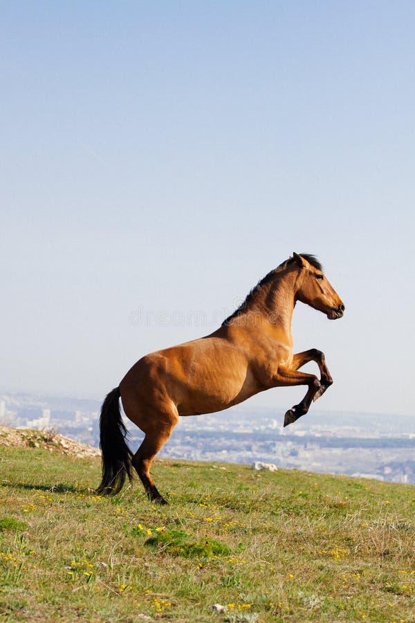Schönes rotes Pferd, das oben am sonnigen Tag im Sommer aufrichtet lizenzfreie stockbilder