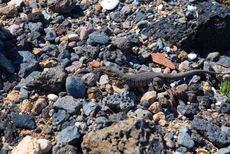 Schönes südliches Teneriffa-Eidechse Gallotia-galloti galloti auf den vulkanischen Steinen, Kanarische Inseln, Teneriffa, Spani stockfoto