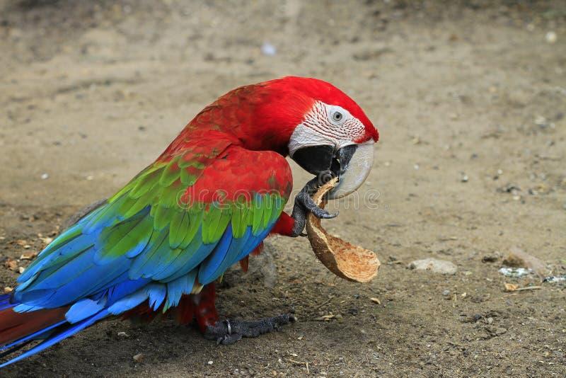 Schönes Scharlachrot Macaw lizenzfreie stockfotos
