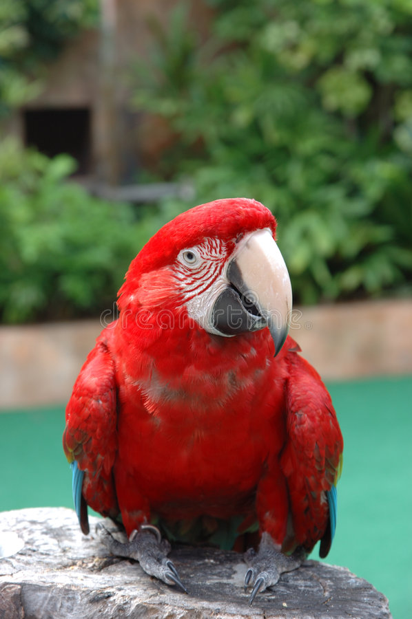 Schönes Scharlachrot Macaw stockfotografie