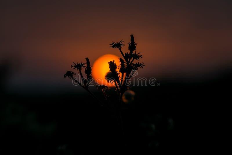 Schönes Schattenbild der Blume gegen den Hintergrund des Sonnenuntergangs stockfotografie