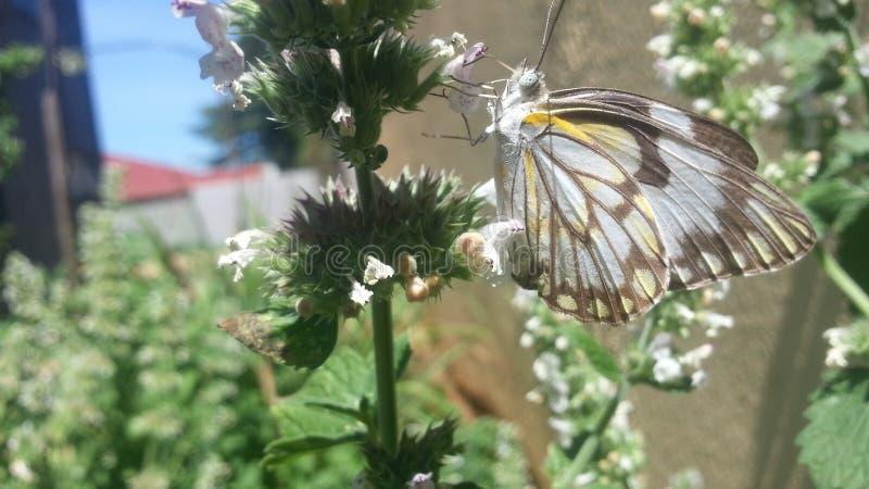 Schönes Schmetterlings-Ernten lizenzfreies stockbild