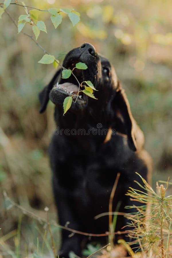 Schönes schwarzes Hündchen Labrador, das auf dem Heu im Fall an der Natur sitzt stockfotos