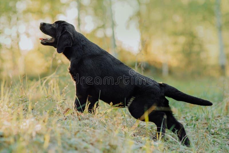 Schönes schwarzes Hündchen Labrador, das auf dem Heu im Fall an der Natur sitzt lizenzfreies stockfoto
