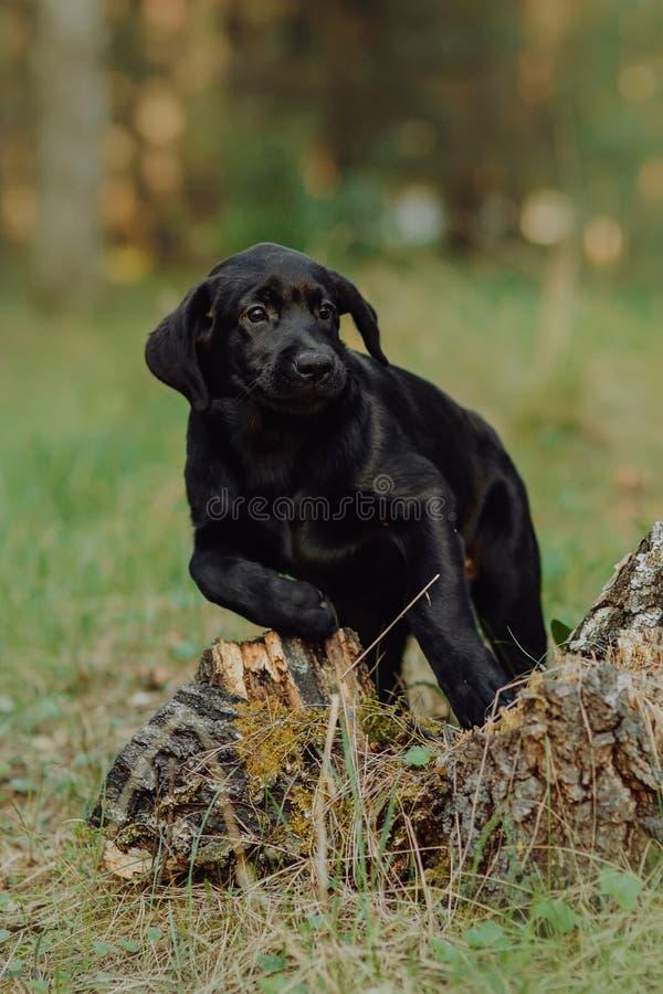 Schönes schwarzes Hündchen Labrador, das auf dem Heu im Fall an der Natur sitzt stockbilder