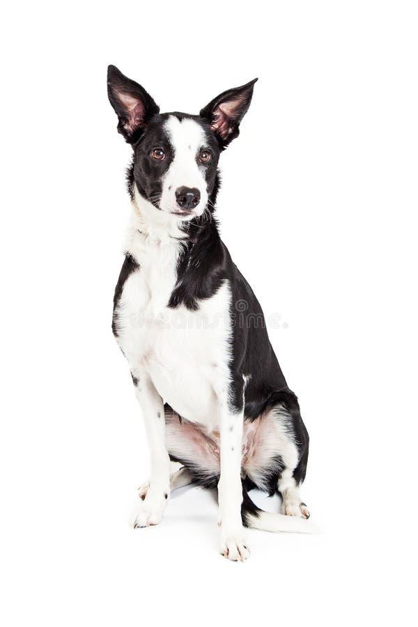 Schönes Schwarzweiss-Farbkreuzungs-Hundesitzen stockbilder