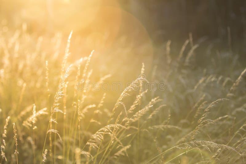 Schönes Sommergras, das in den Wind im Sonnenuntergang wellenartig bewegt stockbild