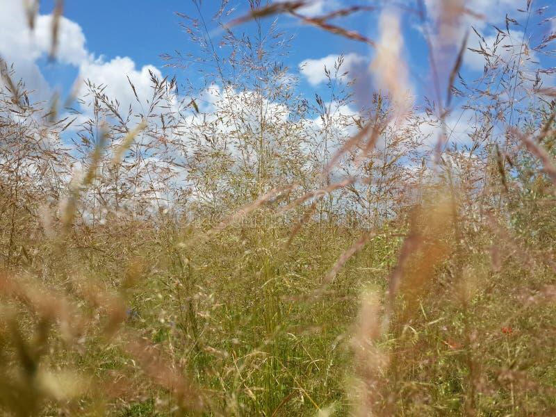 Schönes Sommergras und bewölkter blauer Himmel stockfotografie