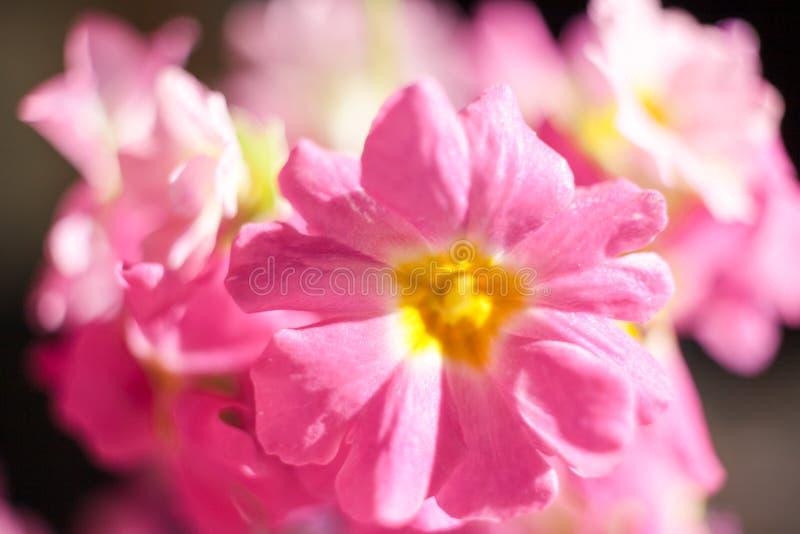 Schönes sonnenbeschienes leicht Rosa der Nahaufnahme blüht Blumenstrauß stockfotos
