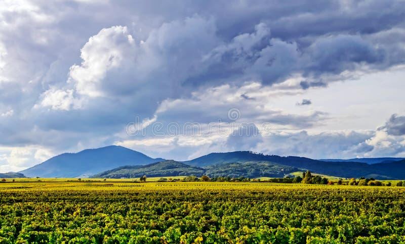 Schönes Sonnenlicht über Weinbergen mit blauem Himmel und Bergen an lizenzfreies stockbild