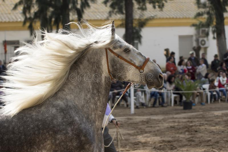 Schönes spanisches Pferd mit der Mähne im Wind stockbild