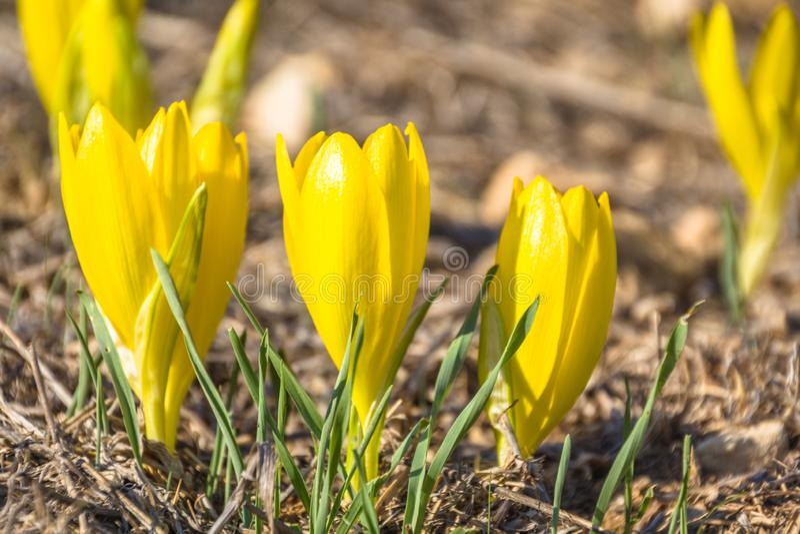 Schönes Sternbergia-clusiana wilde Blume in voller Blüte lizenzfreie stockbilder
