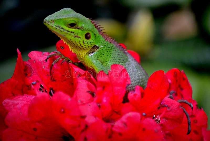 Schönes Tier in Natur ` Lebensraum Eidechse vom Wald auf dem Rot blüht auf Eidechse Calotes Calotes, Detail-EE-Porträt von eotic stockfotos