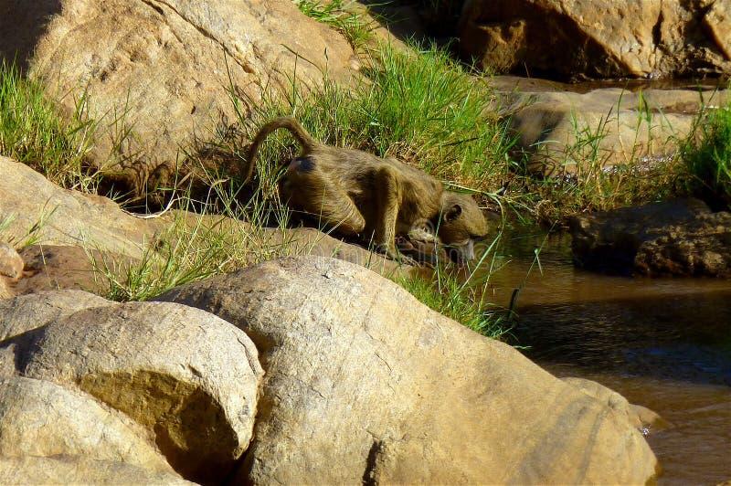 Schönes Tier von Kenia - der Affe lizenzfreies stockfoto