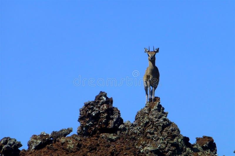 Schönes Tier von Kenia - die Antilope lizenzfreie stockfotografie