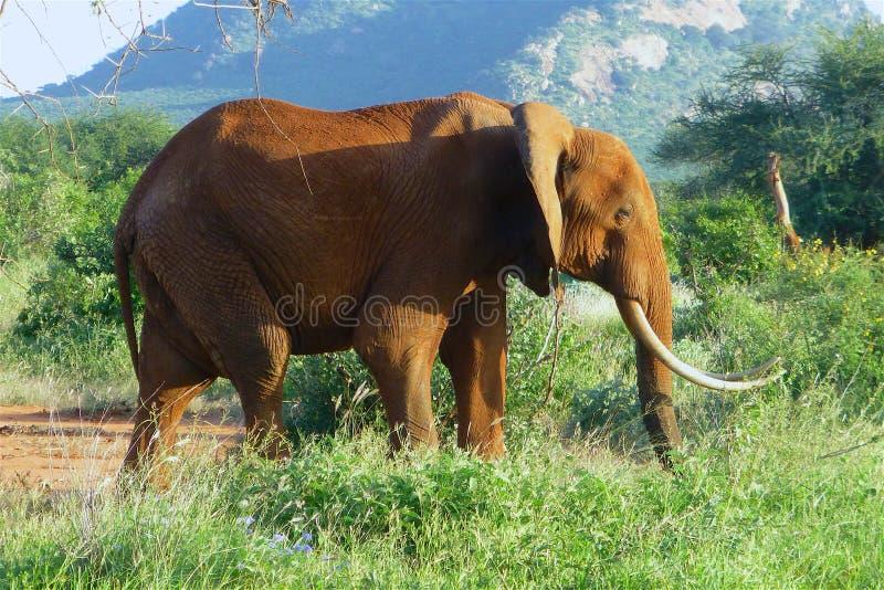 Schönes Tier von Kenia - die großen 5 - der Elefant stockbilder
