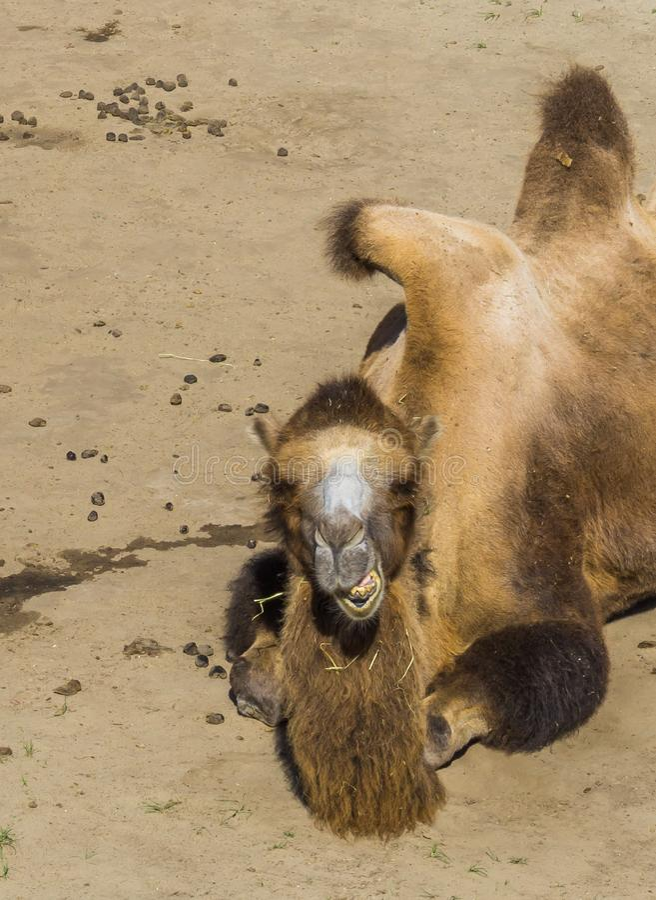 Schönes Tierporträt ein Kamel, das oben im Abschluss kaut stockfotografie