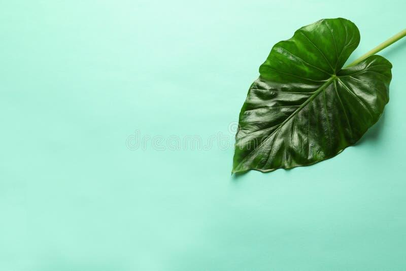 Schönes tropisches Wasserbrotwurzelbetriebsblatt auf Farbhintergrund stockbilder