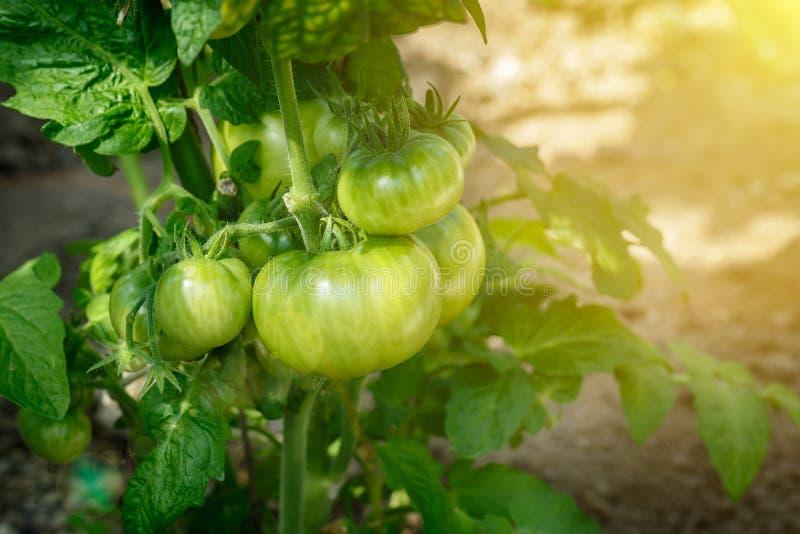 Schönes und neues Grün ist nicht reife Tomatenniederlassung im Sommer auf Unschärfe bokeh Hintergrund stockfoto