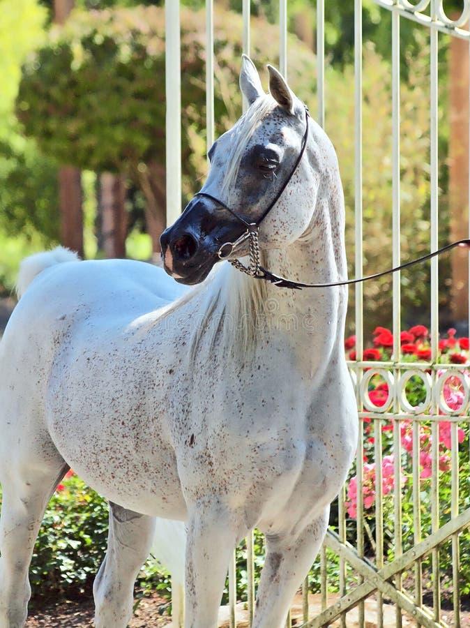Schönes weißes ägyptisches arabisches Pferd stockbild