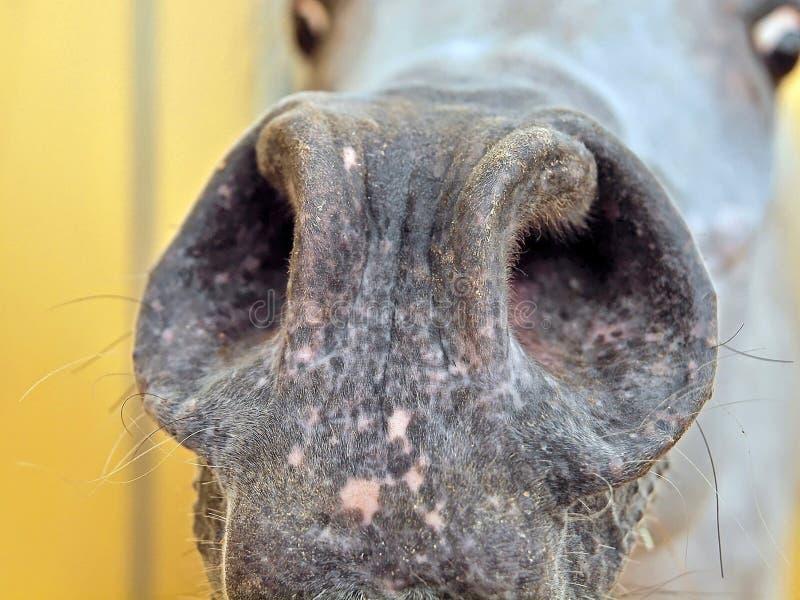 Schönes weißes ägyptisches arabisches Pferd lizenzfreies stockbild