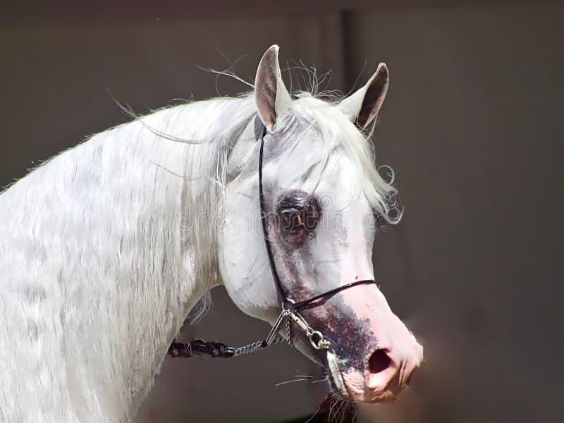 Schönes weißes ägyptisches arabisches Pferd stockfotos